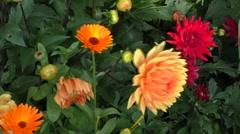 Decorative orange dahlias grow Stock Footage