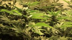 Medical marijuana garden buds zoom and pan around Stock Footage