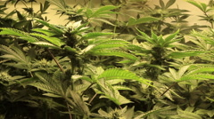 Medical marijuana growing Stock Footage
