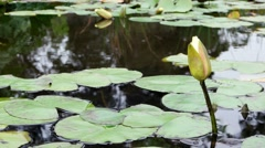 Water Lillies in serene pond with flower Stock Footage