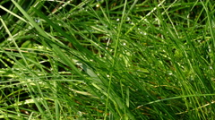 Fresh green grass with dew drop closeup Stock Footage