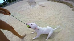 Stock Video Footage of Miniature Bull Terrier Dog Playing on Beach. Slow motion