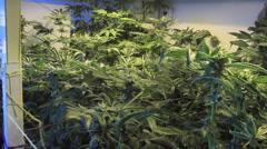 Medical marijuana growing zoom pans Stock Footage