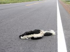 Roadkill Skunk on a Highway - stock photo