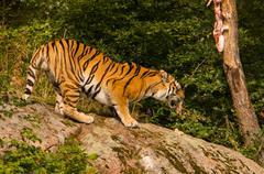 Amur tiger feeding - stock photo