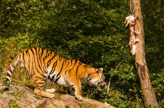 Stock Photo of Amur tiger feeding