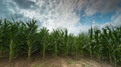 Stock Video Footage of Corn Field Time-lapse