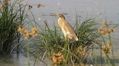 Squacco Heron (Ardeola ralloides) Stock Footage