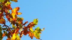 Branch With Autumn Multi-Colored Leaves Hanging On Blue Sky Background Stock Footage