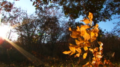 Branch With Yellow Leaves  Illuminated With The Sun In Park - stock footage