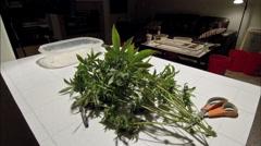 Medical marijuana Harvesting time lapse Stock Footage