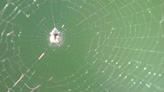 Spider insect macro in web sitting, 4k Stock Footage