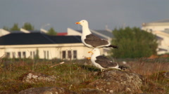 Great black backed gull Stock Footage