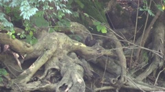 Mink running through the roots of a giant tree near river Stock Footage