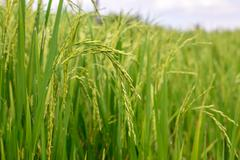 Close up of green rice paddy. - stock photo