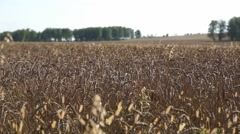 Landscape with ripe wheat outdoor in a warm sunny day in the end of summe - stock footage