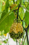Ornamental gourd tree - stock photo