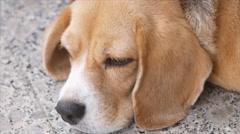 Close up portrait of beagle Stock Footage