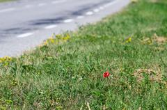 Alone poppy flower on the edge of road Stock Photos