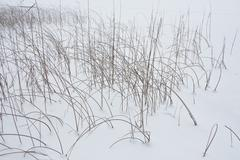 Winter background with natural wind bent the reeds at the edge of a snow-cove - stock photo