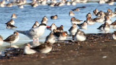 Red necked phalarope flock Stock Footage
