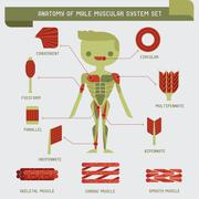 Anatomy of male muscular system Stock Illustration