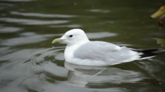 Small beautiful seagull swimming Stock Footage