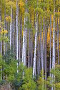White aspen trees in autum Stock Photos