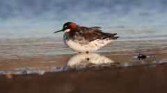 Red necked phalarope Stock Footage