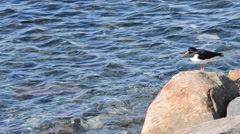 Beautiful oystercatcher bird standing on sea shore boulder in summer sunshine Stock Footage