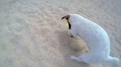 Jack Russel Terrier Dog Digging Sand on the Beach. Slow Motion Stock Footage