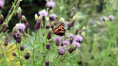 Tortoiseshell Butterfly - stock footage