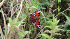 Peacock Butterfly on Nettles Stock Footage