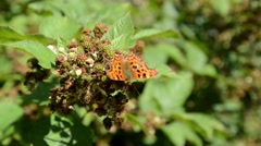 Comma Butterfly Stock Footage