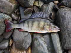 Perch, bass, freshwater fish Stock Photos
