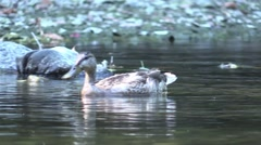 Duck feeding  swims close by wildlife nature animal Stock Footage