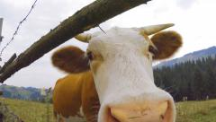 Cow grazing in a carpathian mountain meadow close up Stock Footage