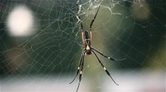 The Northern Golden Orb Weaver Spider Stock Footage
