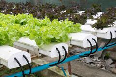 Hydroponic vegetables growing in greenhouse Stock Photos