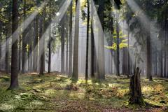 "Mystic forest with morning sunbeams Czech republic ""Cesky Les"" Stock Photos"