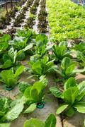 Hydroponic vegetables growing in greenhouse - stock photo