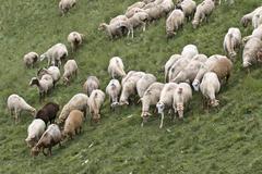 sheeps in the Caucas mountines at Azerbijan - stock photo