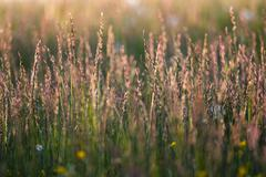 Lond grass meadow at sunrise time Stock Photos