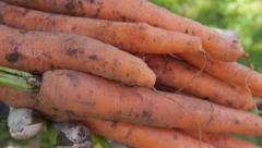 Holding freshly harvested carrots in front of camera Stock Footage