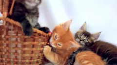Three Valentine Maine Coon kittens sitting at basket move their heads back and Stock Footage