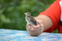 Young yellow-beaked sparrow sits on  children's palm Stock Photos