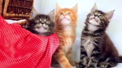 Three Valentine Maine Coon kittens sitting at basket move their heads back and - stock footage