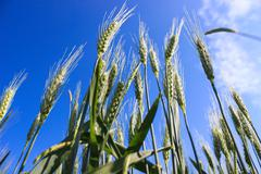 Stock Photo of landscape wheat fields on a sunny summer day