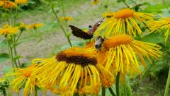 Bumblebee and butterfly collecting nectar from flowers Stock Footage