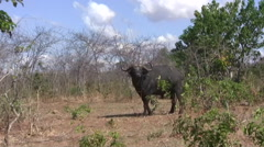 Water buffalo in the South Luangwa National Park Stock Footage